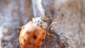 Señora Bug se arrastra a lo largo de la corteza de un árbol, primer metrajes