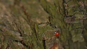 Señora Bug On un árbol almacen de metraje de vídeo