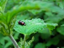 Señora Bugs Imagenes de archivo