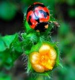 Señora Bugs imagen de archivo