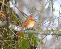 señora cardinal Fotos de archivo