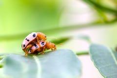 Señora convergente Beetles que se acopla en una hoja verde con el copyspace imagen de archivo libre de regalías
