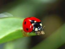 Señora escarabajo Foto de archivo libre de regalías