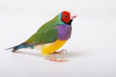 Señora Gouldian Finch Imagen de archivo libre de regalías