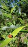 Señora-insecto fotografía de archivo libre de regalías