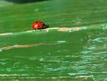 Señora-insecto Imagen de archivo libre de regalías