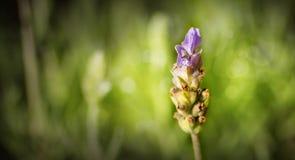 Señora Lavender Imagenes de archivo