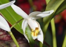 señora Orquídea de Coelogyne de los musgos Fotos de archivo