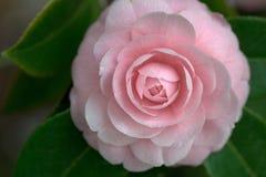 Señora Pink Camellia Foto de archivo libre de regalías