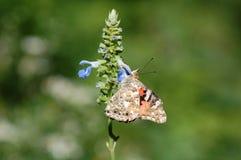 Señora pintada Butterfly, cardui de Vanesa Imagen de archivo