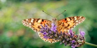 Señora pintada Butterfly, cardui de Vanesa en la lavanda fotos de archivo