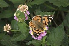 Señora pintada Butterfly con las alas abiertas en las flores del Lantana fotos de archivo libres de regalías
