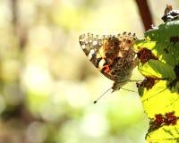 Señora pintada Butterfly en la hoja multicolora Fotografía de archivo