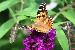 Señora pintada Butterfly en la mariposa Bush Fotos de archivo libres de regalías
