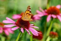 Señora pintada Butterfly que se sienta en un coneflower rosado en la luz del sol con las alas para arriba Imagen de archivo