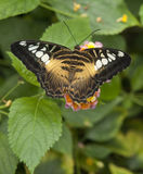 Señora pintada mariposa (cardui de Vanesa) Fotografía de archivo