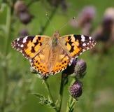 Señora pintada mariposa (Vanesa Cardui) Foto de archivo