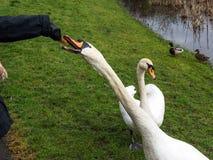 Señora que alimenta un cisne a mano Foto de archivo libre de regalías