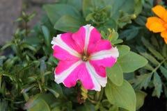 Señora rosada Imagenes de archivo