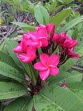 Señora rosada Imagen de archivo