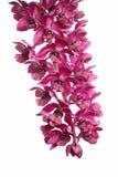 Señora Slipper Orchid Fotografía de archivo