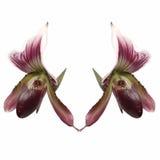 Señora Slipper Orchid Imagen de archivo libre de regalías