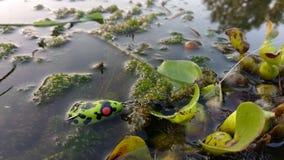 Señuelo suave de la rana del cuerpo hueco fotos de archivo
