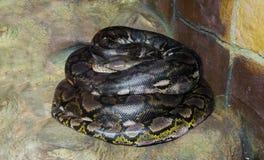 Se arrolla encima de la serpiente más larga de los mundos del pitón reticulado hay, un constrictor y un depredador grandes peligr imagenes de archivo