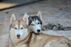 Se atrapa el perro lindo Fotografía de archivo libre de regalías