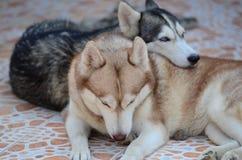 Se atrapa el perro lindo Fotos de archivo