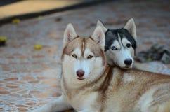 Se atrapa el perro lindo Imagen de archivo libre de regalías