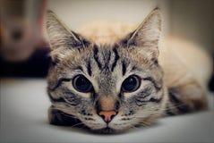 Se av en liggande katt, närbild somframsidan tystar ned arkivbilder