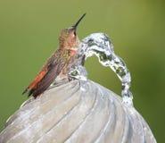 Se baigner de colibri Photos libres de droits