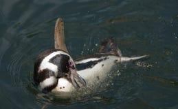 Se baigner de pingouin de Humboldt Image libre de droits