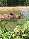 Se baigner de soleil de rhinocéros Photos stock