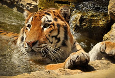 Se baigner de tigre Photographie stock
