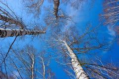 Se björkträt för himmel på våren Arkivbilder