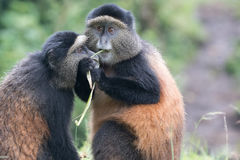 Se blottir d'or de singes Photographie stock libre de droits