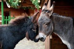 Se blottir de deux ânes Photos libres de droits