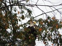 Se camufla Eagle calvo mientras que oculta en árbol foto de archivo