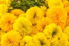 Se cosechan las flores de la maravilla. Imagen de archivo libre de regalías