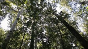 Se déplaçant par un verger de bouleau, tir de steadicam Couronnes des arbres de bouleau verts un jour ensoleillé, la vue inférieu clips vidéos