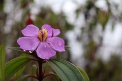 Se développent la fleur et la pluie image libre de droits