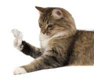 Se den gråa kattungen med färgrik chokladpåsk Arkivbilder
