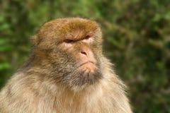 se den otäcka ståenden för macaquen Arkivbilder
