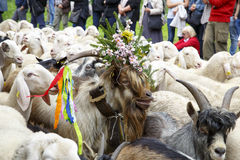Se Desmonteghea. Falcade, Belluno, Italy - September 26, 2015: Se Desmonteghea a great party in Falcade for the livestock returning from the highland pastures Stock Images