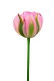 Se dobla el tulipán rosado-verde coloreado Imagen de archivo