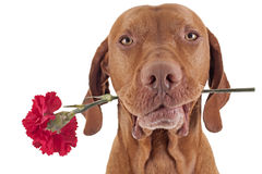 Se ejecutaron de rosas Imágenes de archivo libres de regalías