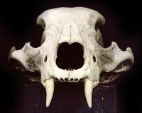 Se encuentra en el bosque un oso marrón Cráneo viejo del oso blanco en un fondo negro Tocón quemado Front View Vista lateral fotografía de archivo