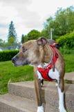 Se Eyed Jack o salvamento do pitbull fotografia de stock royalty free